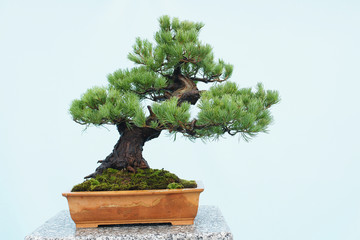 Papiers peints Bonsai bonsai