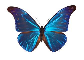 Blue Morpho butterfly (Morpho retenor) from South America.