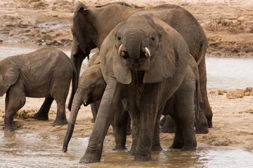 Elefanti Africani al fiume