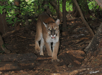 wild mountain lion / puma / cougar photographed with remote came