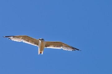 Gaviota sobre volando