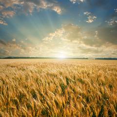 Wall Mural - wheat field on sunset