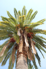 Palm tree.