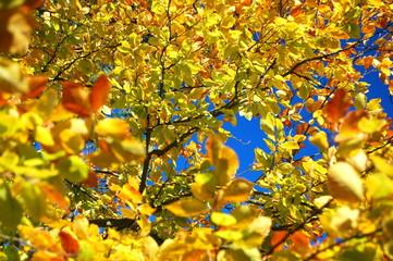 Drzewo leszczyny