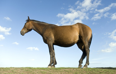 A beautiful brown horse standing in profile