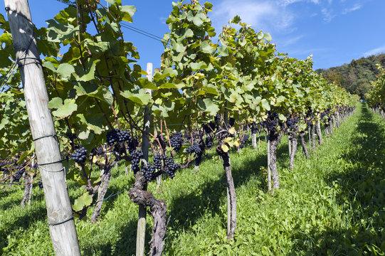 Weinanbau am Ottenberg