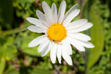 white daisy with a little fly