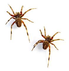 Orb Weaver Spiders