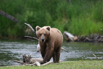 Grizzly Bear Heading Towards Us