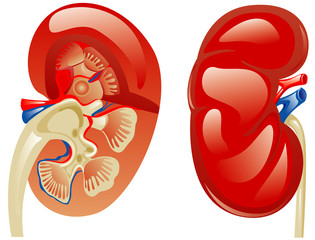 Kidney in a cut and whole