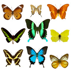 exotic butterflies collection