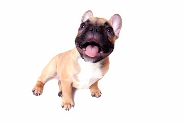 Little french bulldog puppy