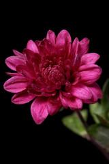 chrysanthème mauve