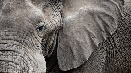 Closeup Elephant face