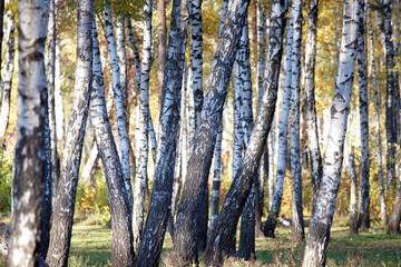 Spoed Foto op Canvas Berkbosje Autumn brich, background.