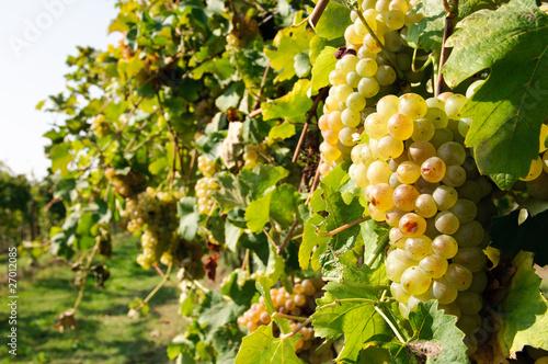 Filare di uva bianca immagini e fotografie royalty free - Uva da tavola bianca ...