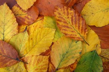 Jesienne liście leszczyny