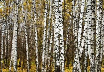 Spoed Foto op Canvas Berkbosje birch grove