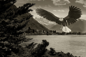 Fototapete - american bald eagle lake old