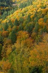 Panorama eines goldenen, gelben Herbstwaldes