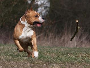 le chien et le bout de bois