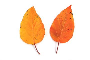 Dwa liście topoli
