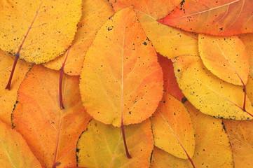 Jesienne liście topoli