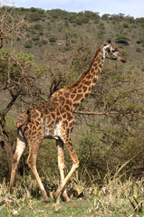 Giraffe walk in trees of acacias.
