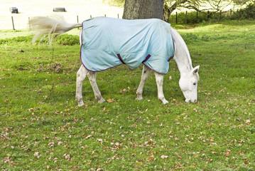 Beautiful white horse grazing.