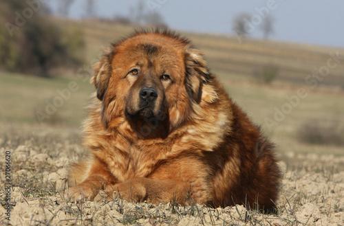 dogue du tibet ressemblant un lion photo libre de droits sur la banque d 39 images. Black Bedroom Furniture Sets. Home Design Ideas