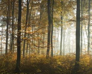 Jesienny las bukowy