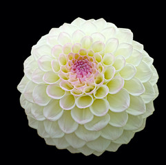 White pom pom dahlia bloom with purple centre, isolated on black