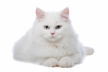 Photo Blinds Cat two White cats with blue and yellow eyes