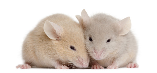 Two young mice in front of white background