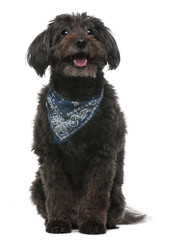 Cross breed dog wearing handkerchief, 10 years old, sitting