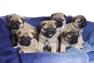 Pug puppy on blue background