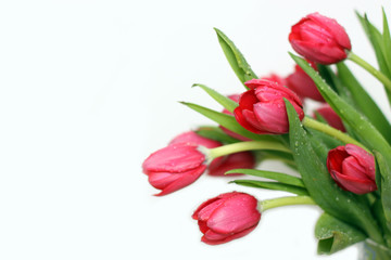 Tulips on the white background