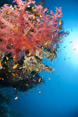 Colorful and vibrant tropical soft coral reef.