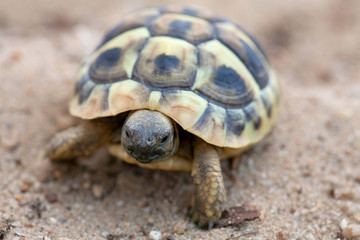 young turtle valking