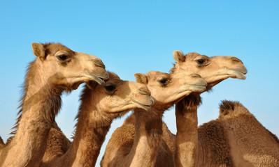 Photo sur Aluminium Chameau Kamele
