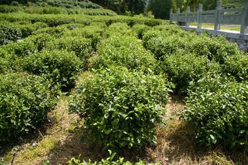coltivazione tè