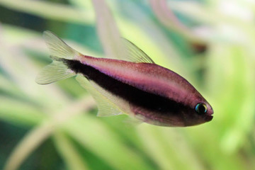 Tetra Palmeri fish