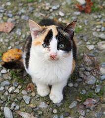 gatto bicolore