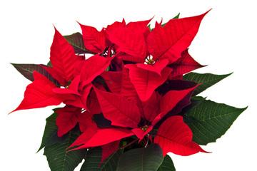 poinsettias Christmas flower isolated