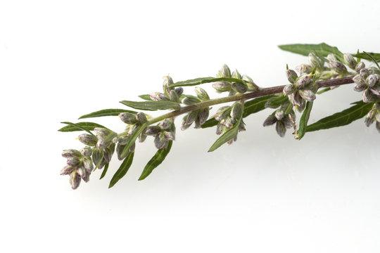 Beifuss; Artemisia; vulgaris