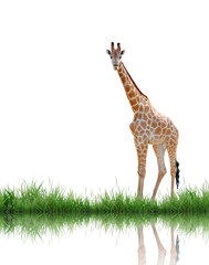 Fototapete - giraffe with green grass isolated