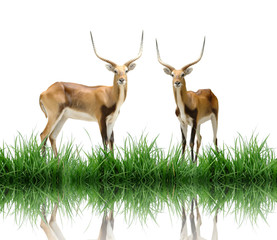 Fototapete - red lechwe with green grass isolated
