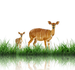 Fototapete - nyala with green grass isolated