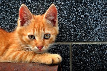 Red kitten outdoor