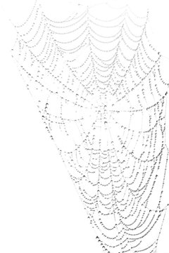 Spiderweb with waterdrops on white background